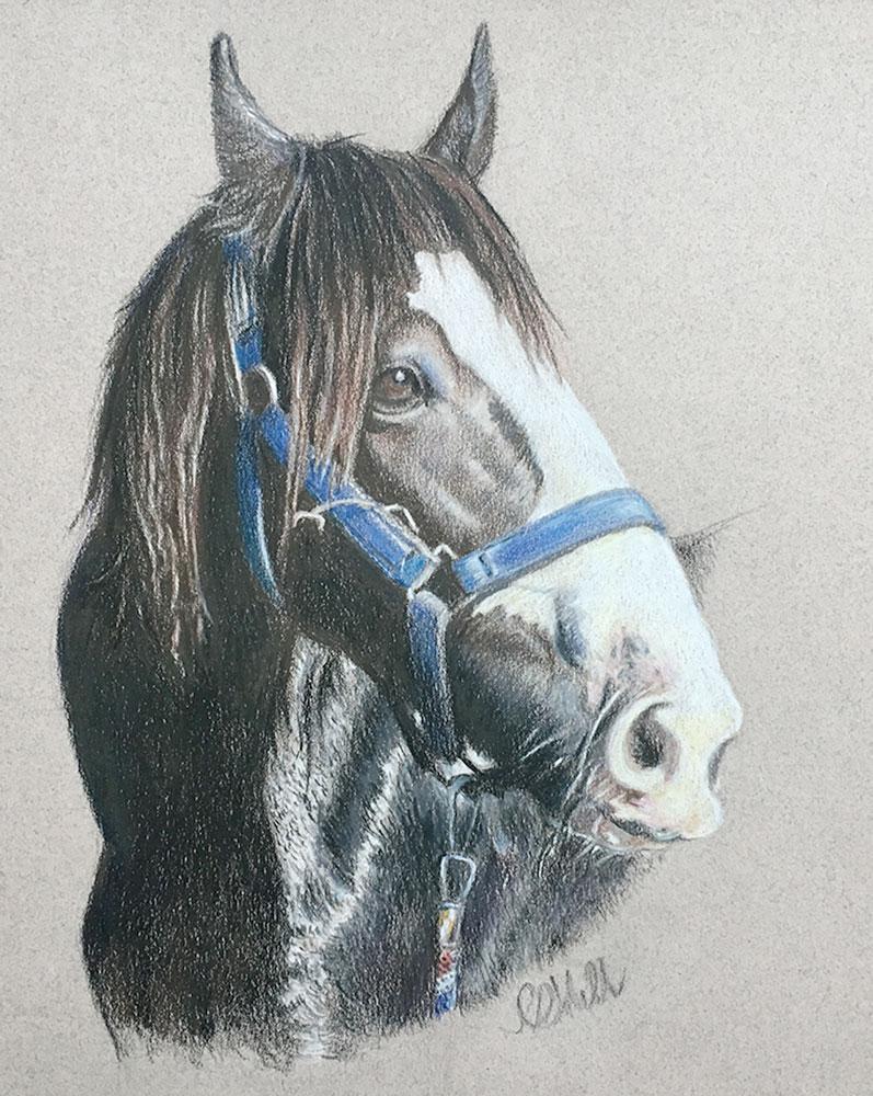 SHire horse portrait drawing, Truro Portrait artist