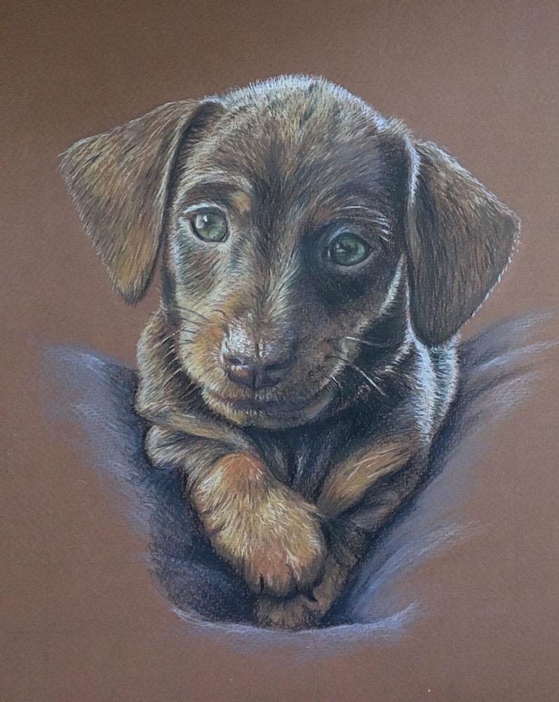 dog portraits Halifax Nova Scotia - minature dashund