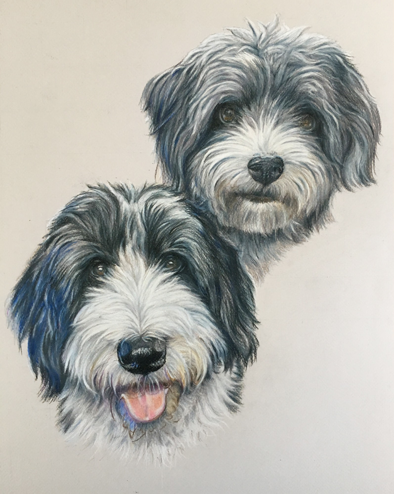 Bearded Collie dog portrait commission by Rebecca Hill