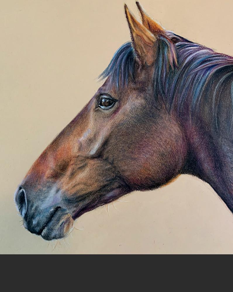 horse drawing portrait drawing, pencil crayon Nova Scotia Portrait artist illustrator